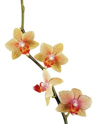beautiful yellow orchid isolated on white background