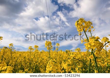 Beautiful yellow rapeseed field in spring