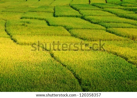 beautiful yellow rice paddy field in Thailand