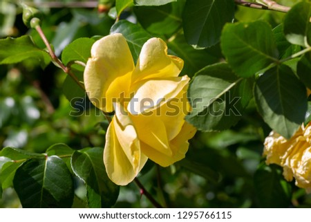 Beautiful yellow rose close-up picture