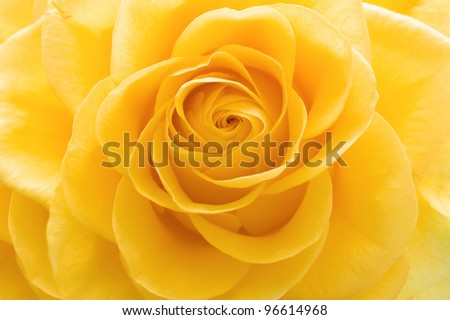 Beautiful yellow rose closeup - stock photo