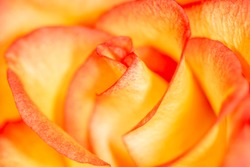 Beautiful yellow rose flower as an abstract background. Macro