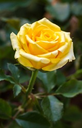 Beautiful yellow rose flower in a garden.