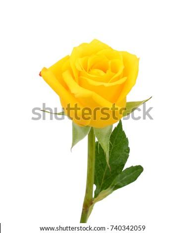 beautiful yellow rose flower isolated on white background