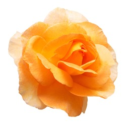 Beautiful yellow rose flower isolated on white background. Flat lay, top view