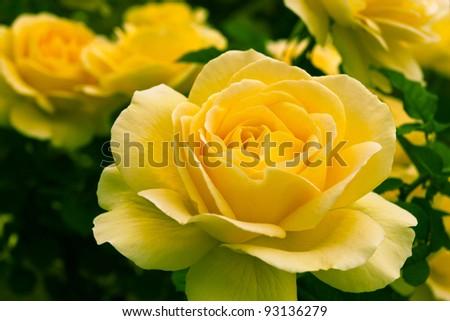 Beautiful yellow rose in a garden. Shallow DOF