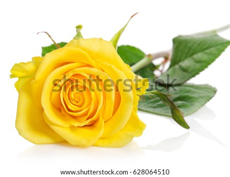 beautiful yellow rose isolated on white background