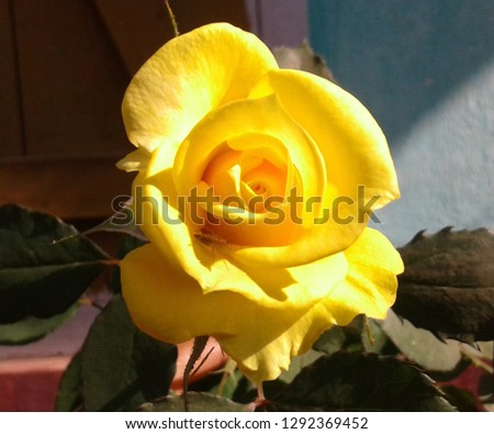 Beautiful yellow rose, single yellow rose picture is shining with morning light.