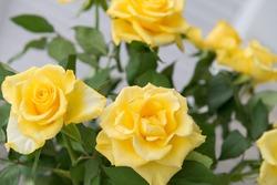 Beautiful yellow roses background