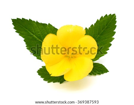 Beautiful yellow sage rose flower isolated on white background ez beautiful yellow sage rose flower isolated on white background mightylinksfo