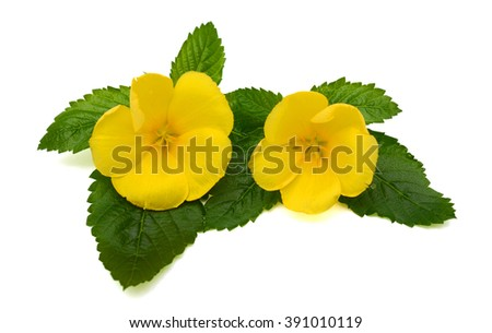 Beautiful yellow sage rose flowers isolated on white background ez beautiful yellow sage rose flowers isolated on white background mightylinksfo