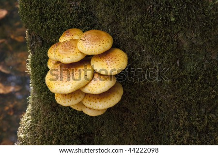 Beautiful yellow shelf or bracket fungus growing on large moss covered tree