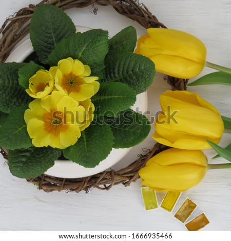 Beautiful yellow spring flowers tulips and blooming primula