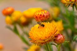 Beautiful Yellow Straw Flowers or Everlasting Flower with bee in the garden.