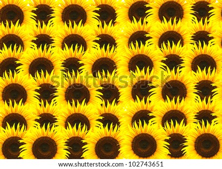 beautiful yellow Sunflower background