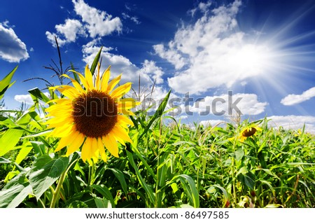 Beautiful yellow sunflower close-up at the sky blue