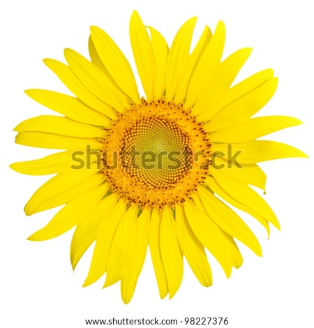 Beautiful yellow sunflower closeup isolated