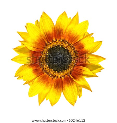 Beautiful Yellow Sunflower Fresh Petals Closeup Isolated on White Background