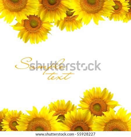 Beautiful yellow Sunflower on the white background