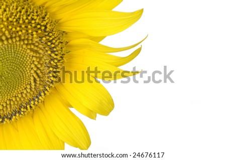 Beautiful yellow sunflower over white background #24676117
