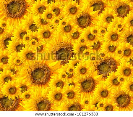 beautiful yellow Sunflower petals