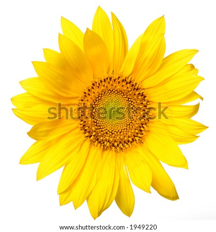 beautiful yellow Sunflower petals closeup