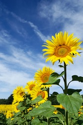 Beautiful yellow sunflower plant photographed in a field against a background of blue sky and misty cloud