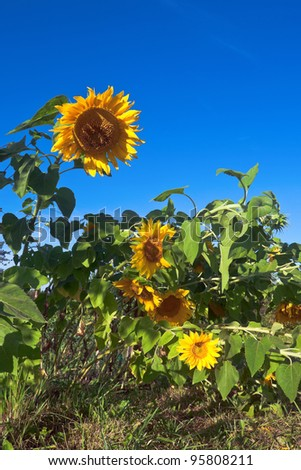 Beautiful yellow sunflowers against blue sky background