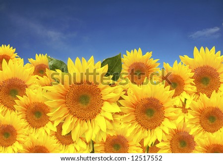 Beautiful Yellow Sunflowers Close up in a Field - stock photo