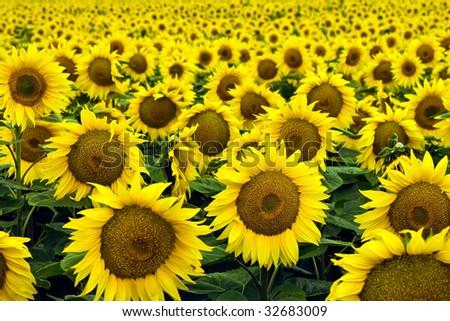 Beautiful, yellow sunflowers the afield.
