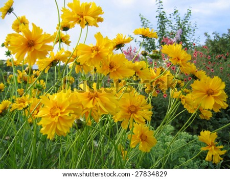 Beautiful yellow sunny flowers (Coreopsis grandiflora)