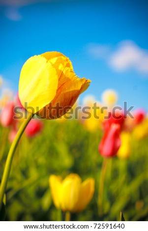 Beautiful yellow tulip in spring garden. Shot was taken with warm polarized filter