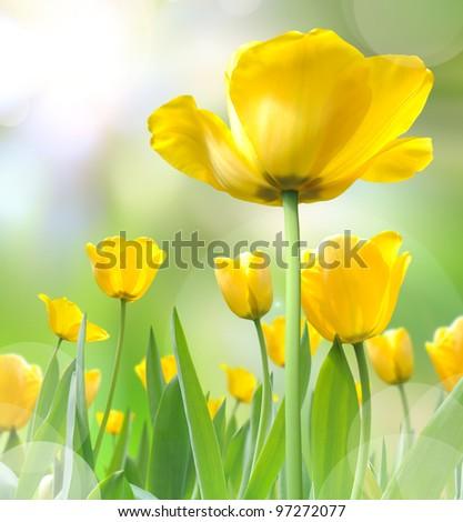 beautiful yellow tulips