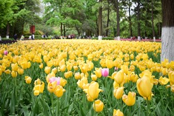 beautiful yellow tulips in springtime