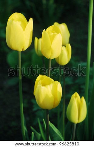 Beautiful yellow tulips in springtime.