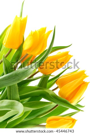 Beautiful yellow tulips isolated on white background. - stock photo