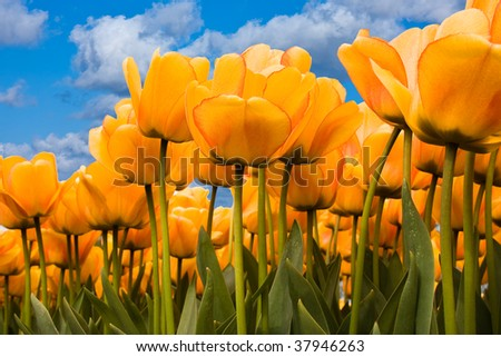 Beautiful yellow tulips looking towards the blue sky
