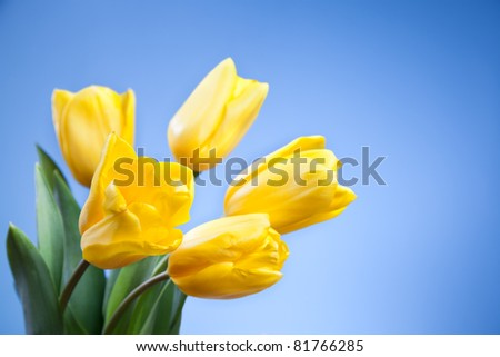Beautiful yellow tulips on a blue background