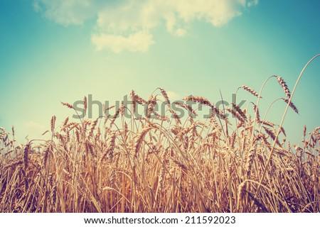 beautiful yellow wheat field in ...