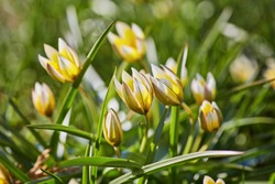 Beautiful, yellow wild tulip in the garden. Bieberstein Tulip.