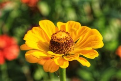 Beautiful yellow zinnia flowers in the  field and natural background,Close up yellow zinnia flowers in the garden.