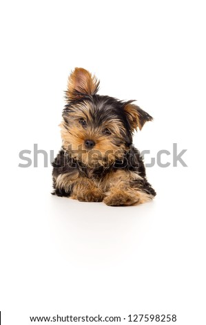 Beautiful Yorkshire terrier isolated