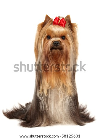 Beautiful Yorkshire Terrier isolated on white - stock photo