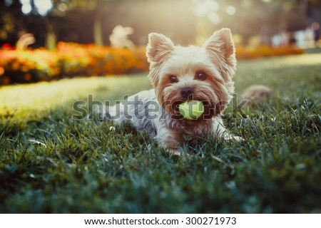 Beautiful Yorkshire terrier playing with a ball on a grass #300271973