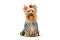 Beautiful yorkshire terrier sitting