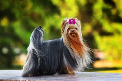 Beautiful yorkshire terrier stands with a pink bow. The wind blows long hair. Blurred background