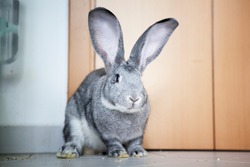beautiful young and health belgian giant, flemish giant or continental giant in indoor