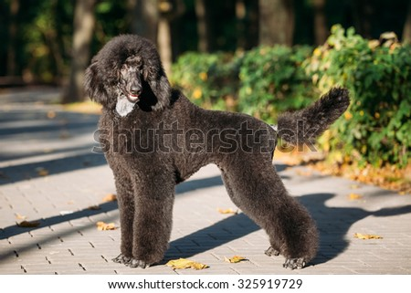 Beautiful Young Black Standard Poodle Dog Outdoor #325919729