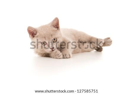 beautiful young British kitten
