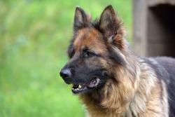 Beautiful Young Brown German Shepherd Dog Close Up. Alsatian Wolf Dog Or German Shepherd Dog On Green Grass Background. Deutscher Dog.